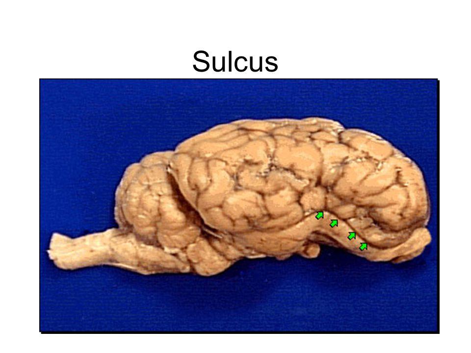Sulcus