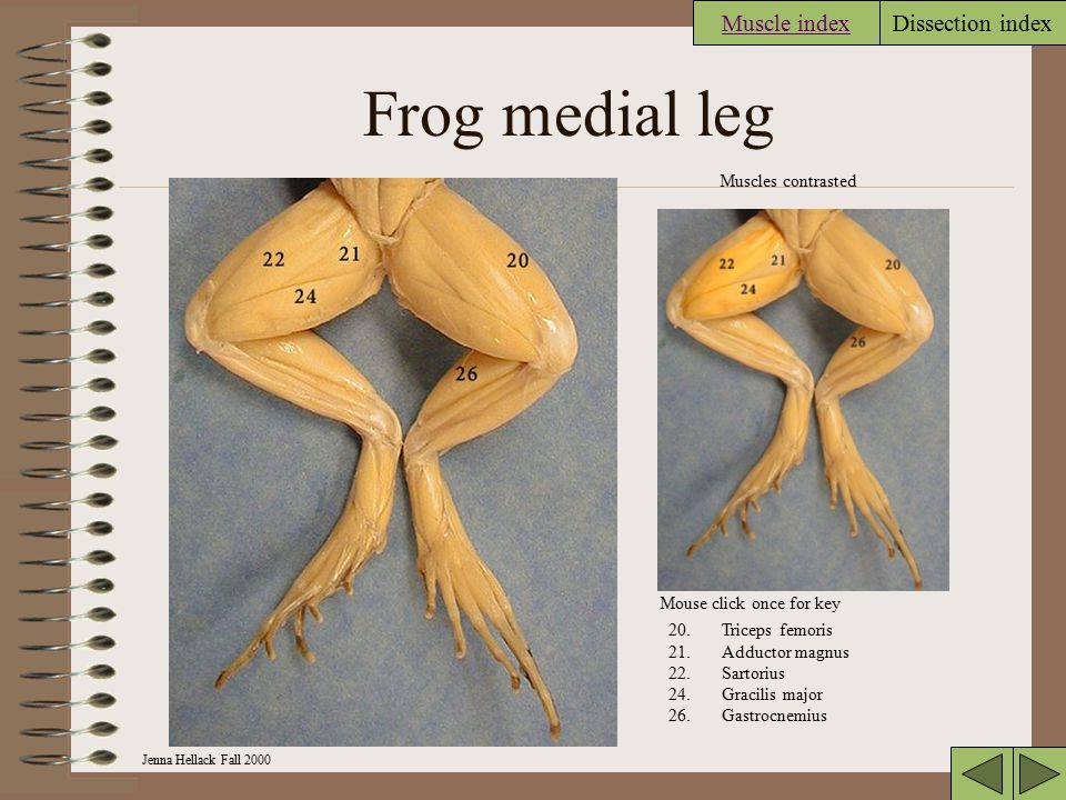 Frog medial leg Muscle index Muscles contrasted