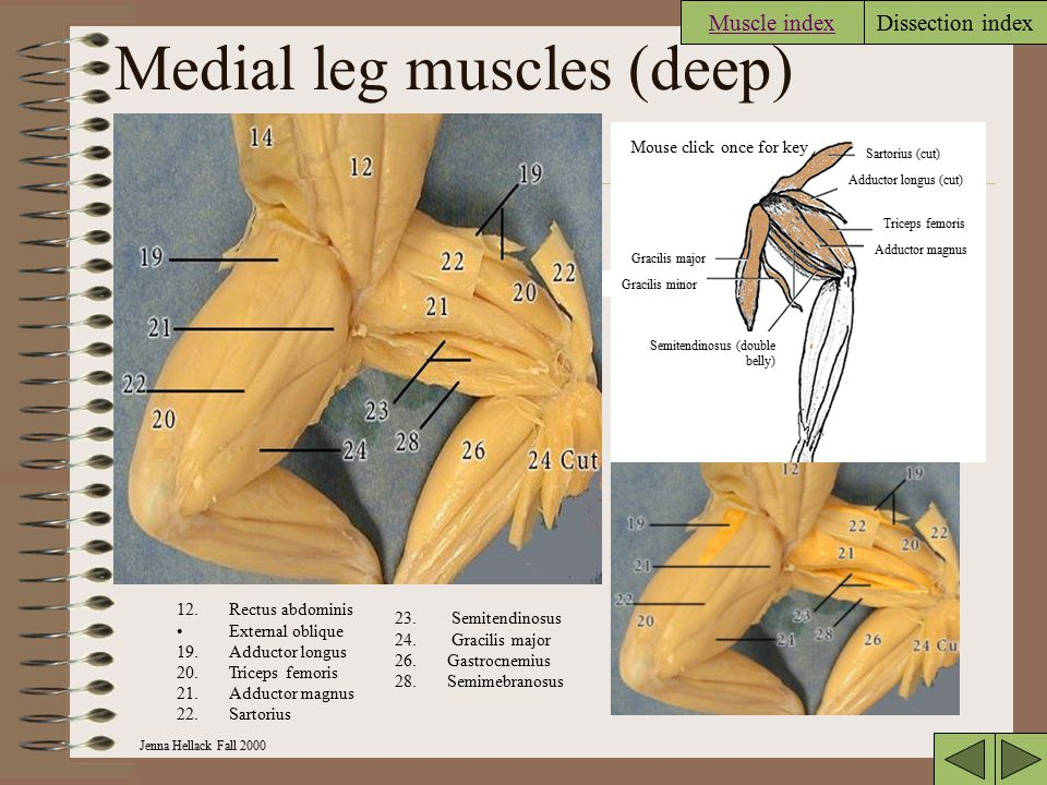 Medial leg muscles (deep)