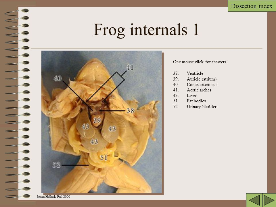 Frog internals 1 One mouse click for answers Ventricle