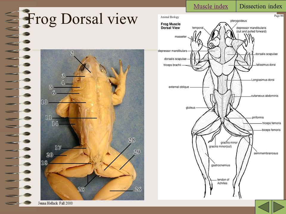 Frog Dorsal view Muscle index