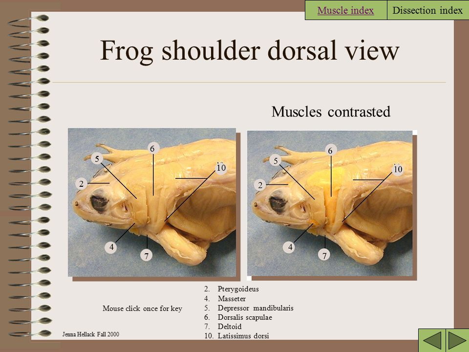 Frog shoulder dorsal view