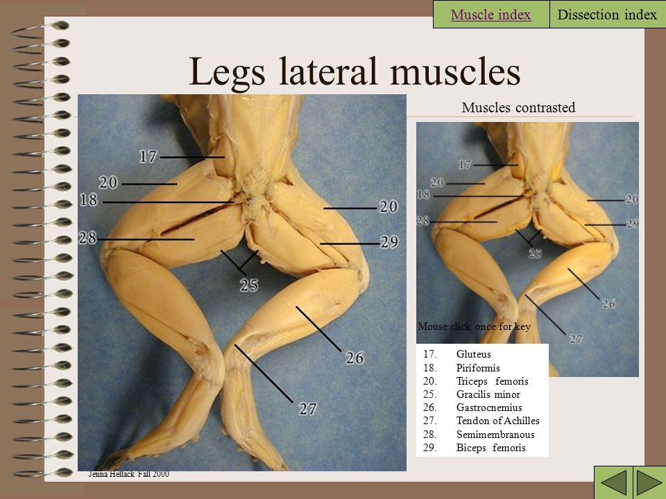 Legs lateral muscles Muscle index Muscles contrasted