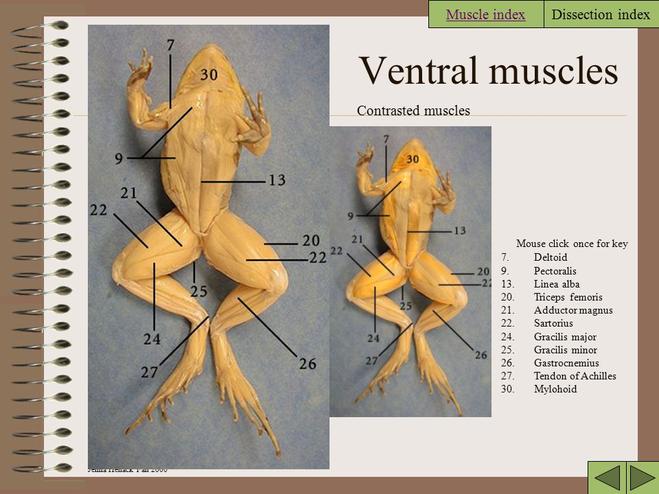 Ventral muscles Muscle index Contrasted muscles
