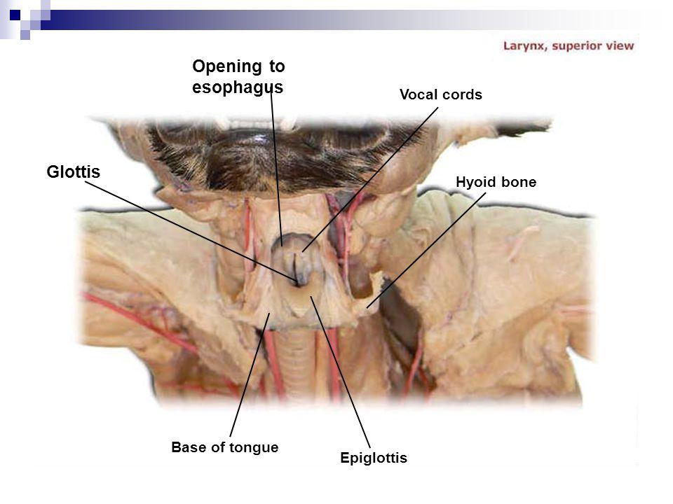 Opening to esophagus Glottis Vocal cords Hyoid bone Base of tongue