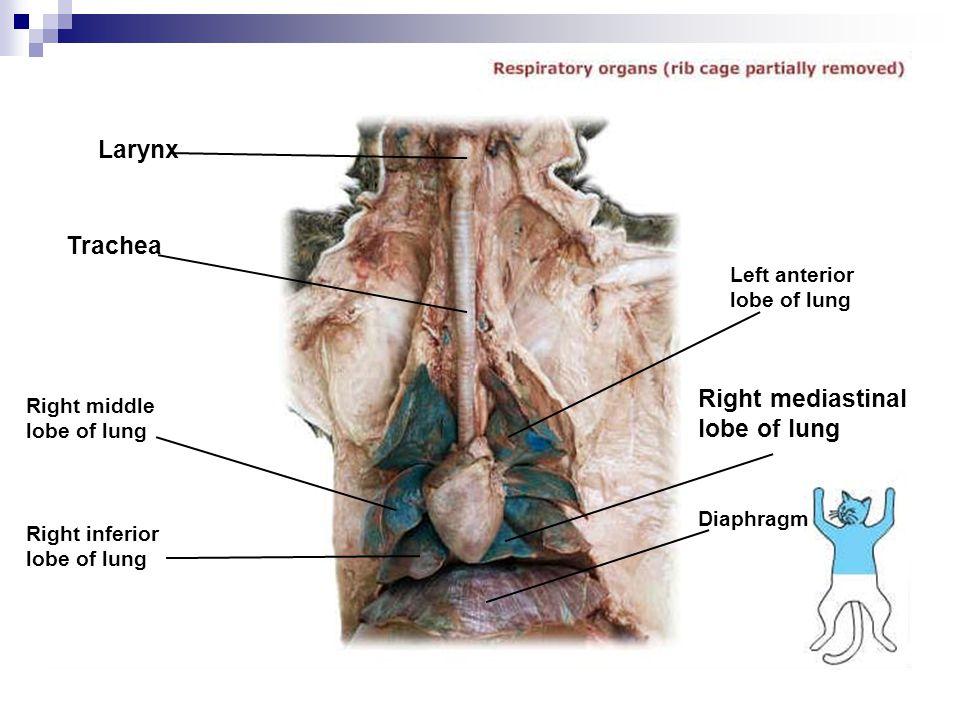 Right mediastinal lobe of lung