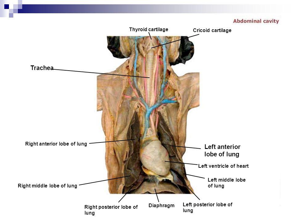 Left anterior lobe of lung
