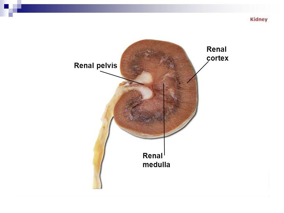Renal cortex Renal pelvis Renal medulla