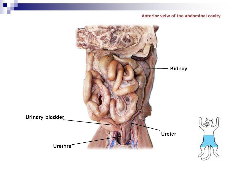 Kidney Urinary bladder Ureter Urethra