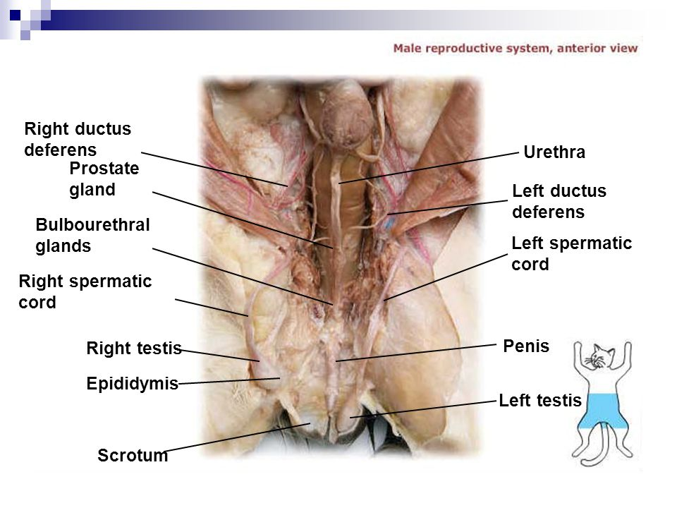 Right ductus deferens Urethra. Prostate gland. Left ductus deferens. Bulbourethral glands. Left spermatic cord.