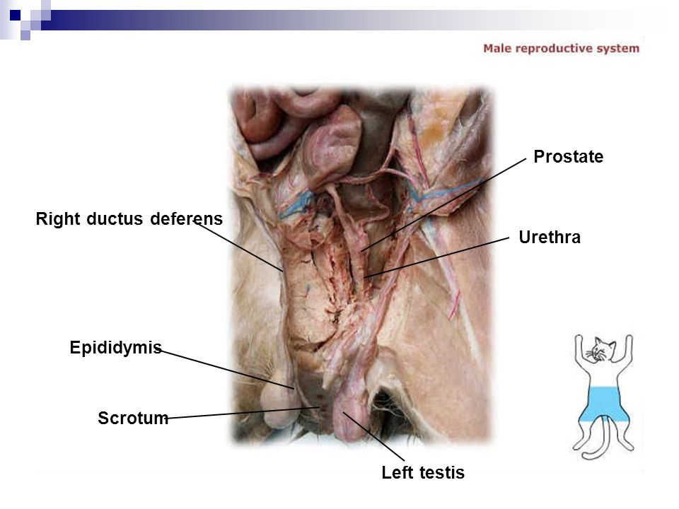 Prostate Right ductus deferens Urethra Epididymis Scrotum Left testis