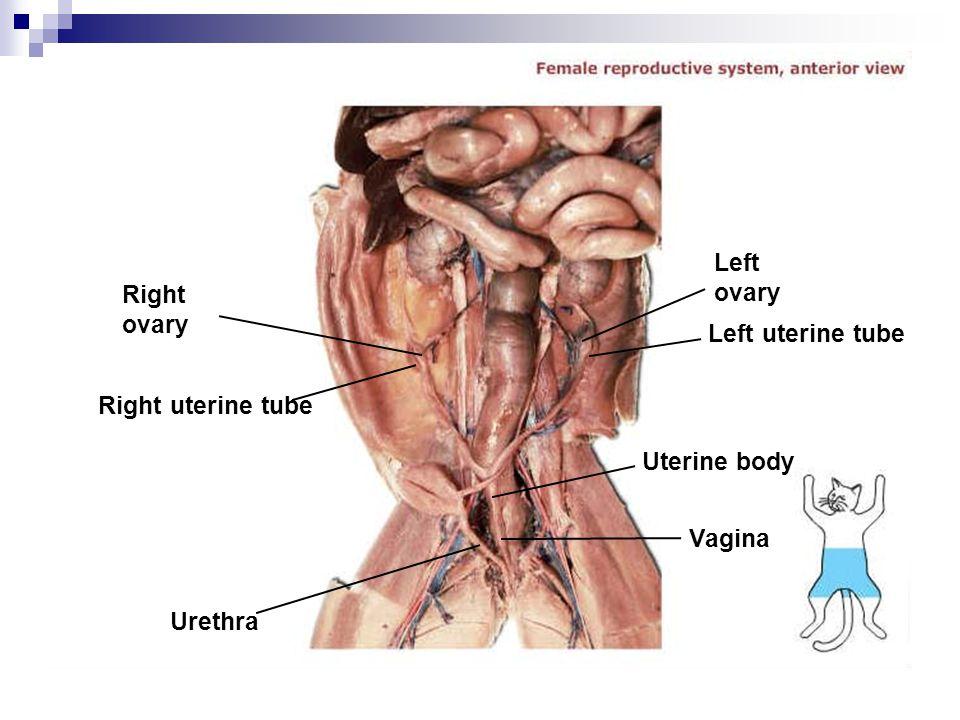 Left ovary Right ovary Left uterine tube Right uterine tube Uterine body Vagina Urethra