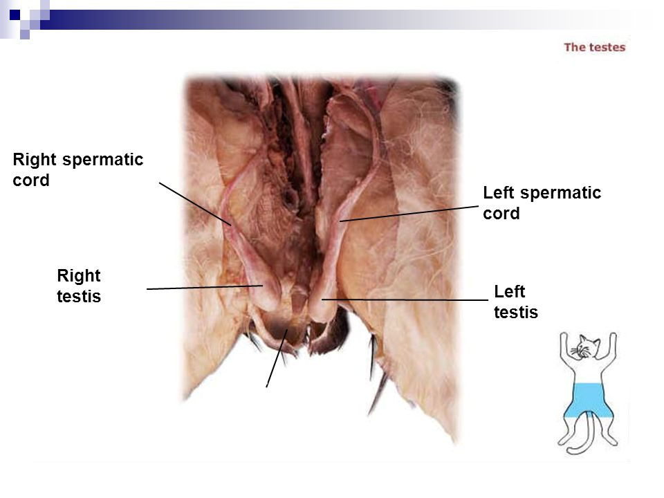 Right spermatic cord Left spermatic cord Right testis Left testis Scrotum