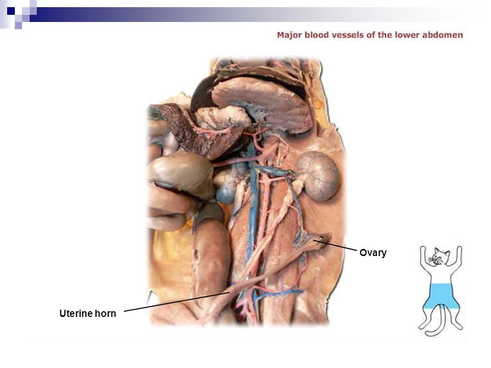 Ovary Uterine horn