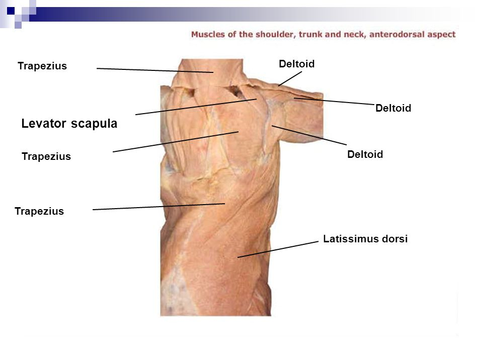 Levator scapula Deltoid Trapezius Deltoid Deltoid Trapezius Trapezius