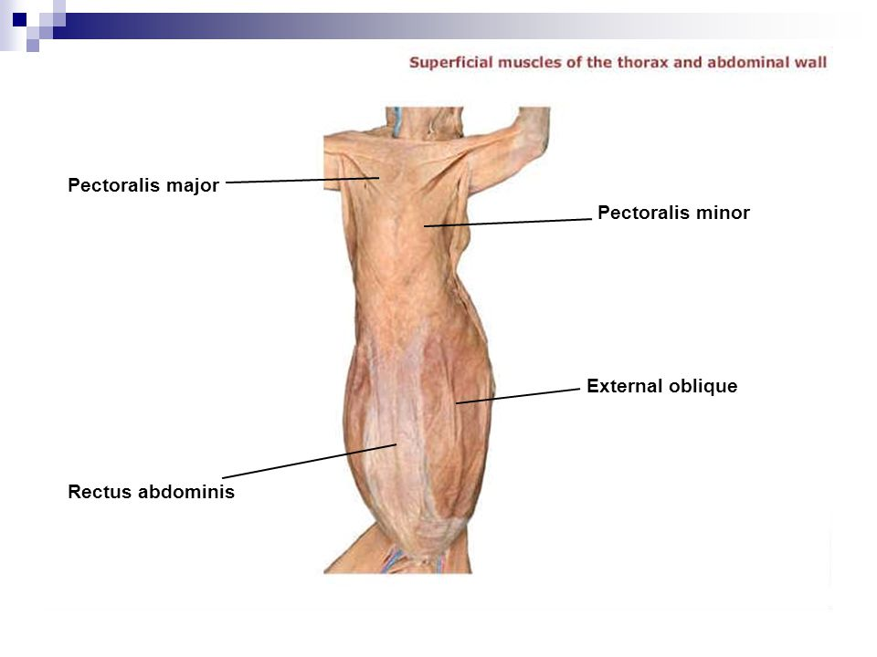 Pectoralis major Pectoralis minor External oblique Rectus abdominis