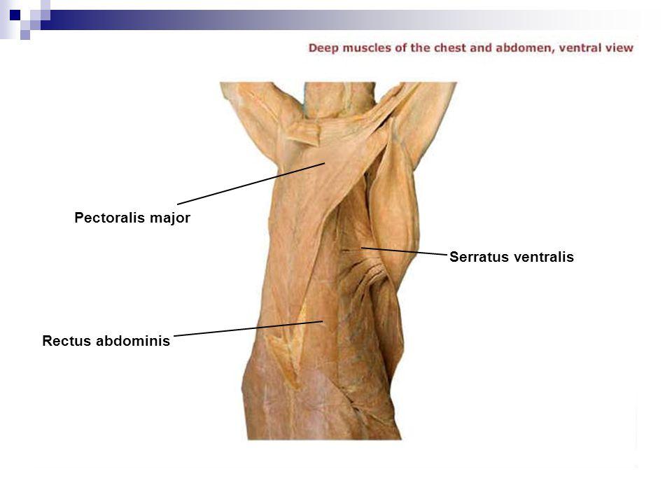 Pectoralis major Serratus ventralis Rectus abdominis