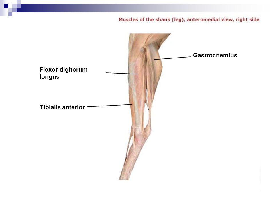 Gastrocnemius Flexor digitorum longus Tibialis anterior