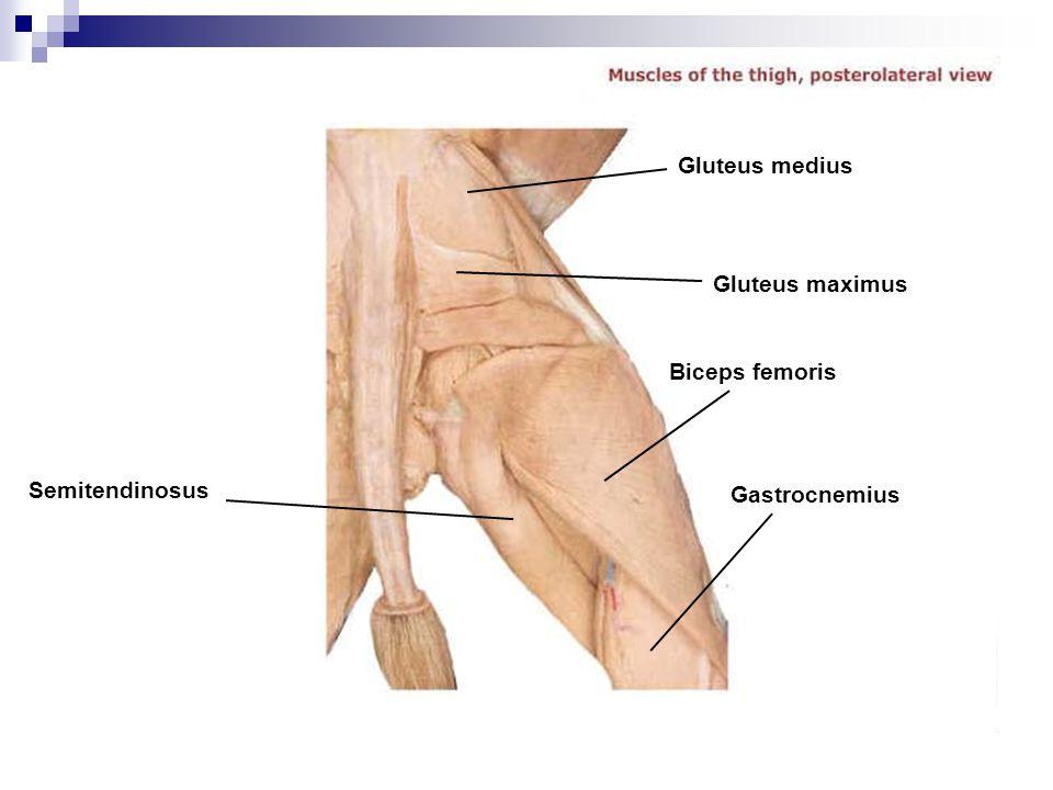 Gluteus medius Gluteus maximus Biceps femoris Semitendinosus Gastrocnemius