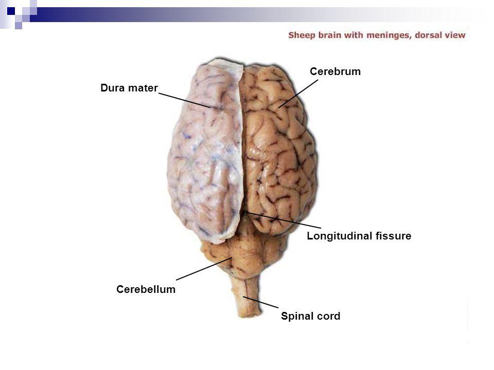Cerebrum Dura mater Longitudinal fissure Cerebellum Spinal cord