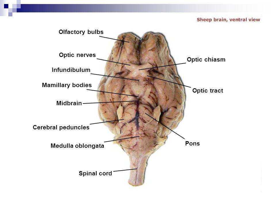 Olfactory bulbs Optic nerves. Optic chiasm. Infundibulum. Mamillary bodies. Optic tract. Midbrain.
