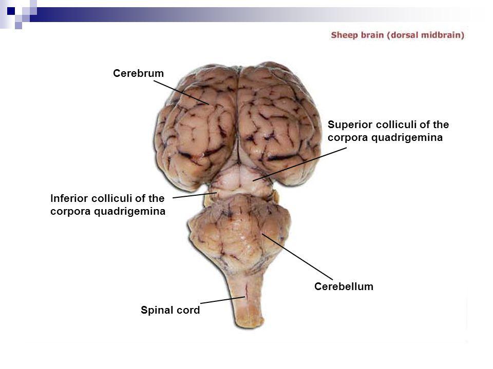 Cerebrum Superior colliculi of the corpora quadrigemina. Inferior colliculi of the corpora quadrigemina.