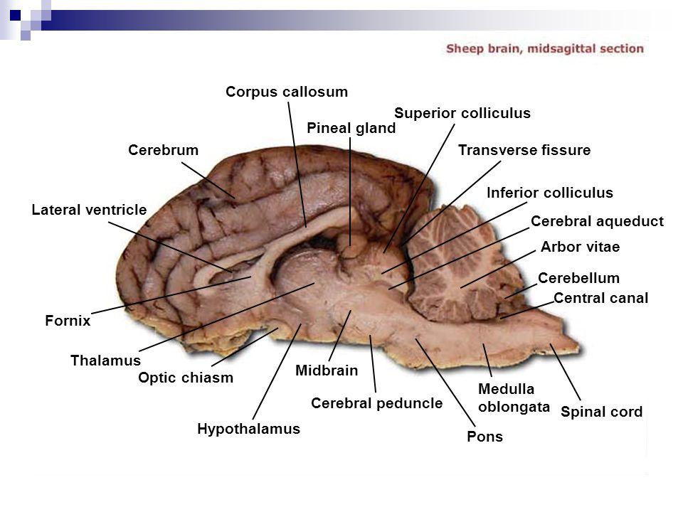 Corpus callosum Superior colliculus. Pineal gland. Cerebrum. Transverse fissure. Inferior colliculus.