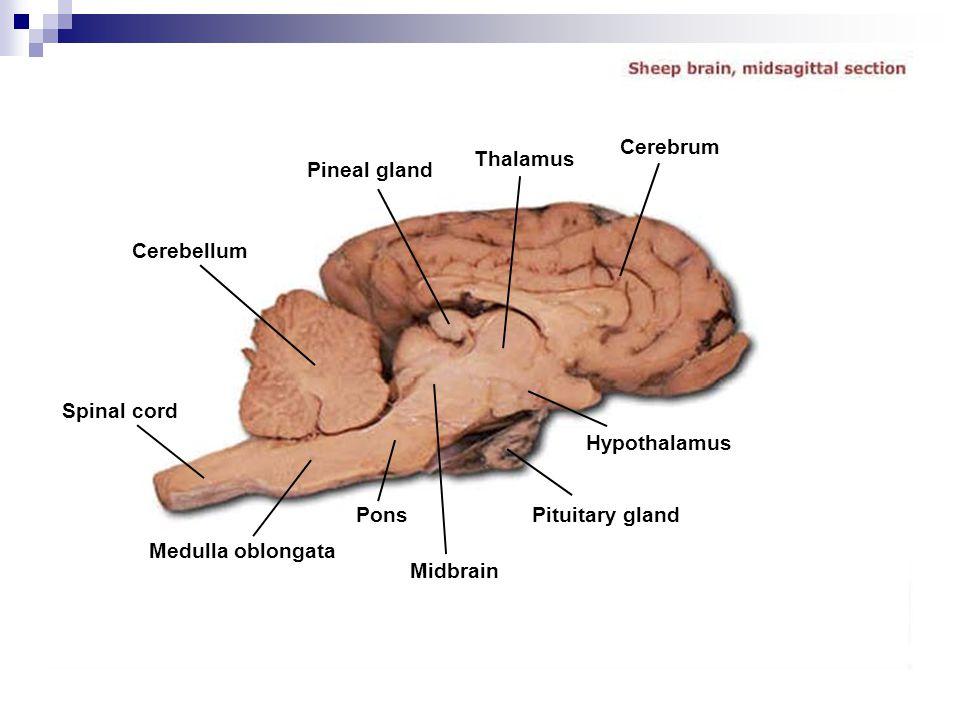 Cerebrum Thalamus. Pineal gland. Cerebellum. Spinal cord. Hypothalamus. Pons. Pituitary gland.