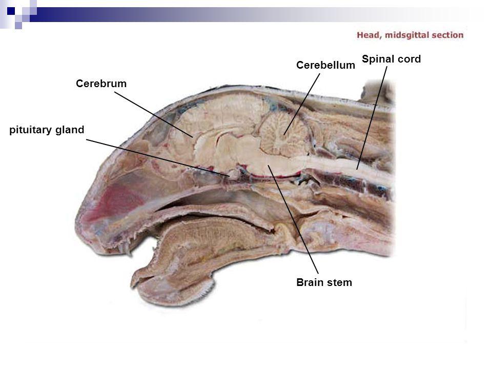 Spinal cord Cerebellum Cerebrum pituitary gland Brain stem