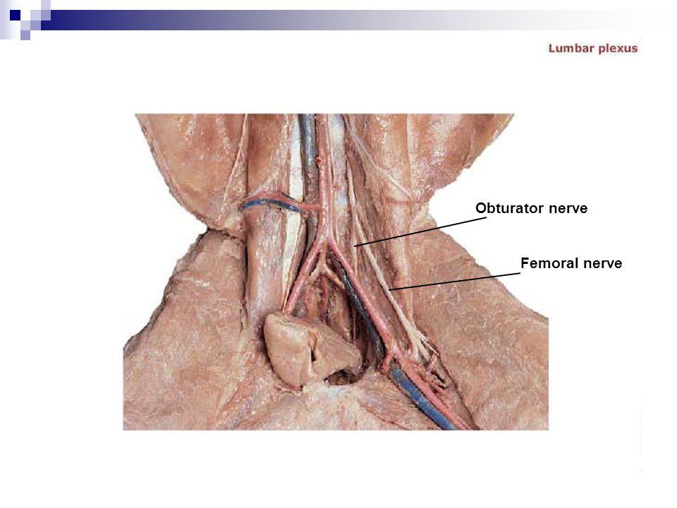 Obturator nerve Femoral nerve