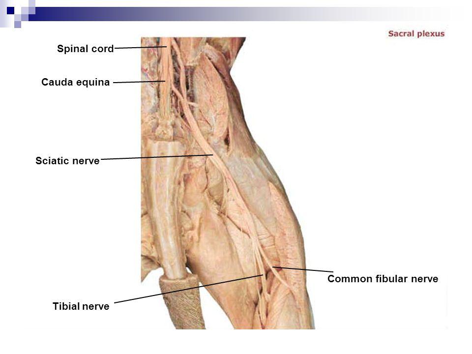 Spinal cord Cauda equina Sciatic nerve Common fibular nerve Tibial nerve
