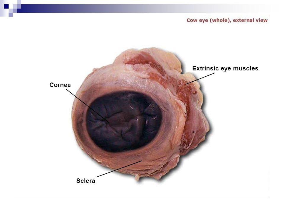 Extrinsic eye muscles Cornea Sclera