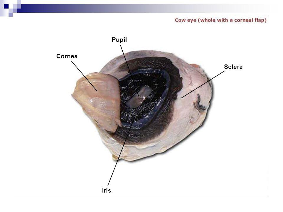Pupil Cornea Sclera Iris