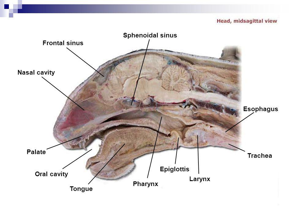Sphenoidal sinus Frontal sinus. Nasal cavity. Esophagus. Palate. Trachea. Epiglottis. Oral cavity.
