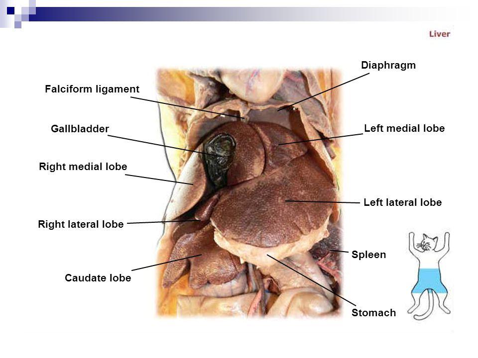 Diaphragm Falciform ligament. Gallbladder. Left medial lobe. Right medial lobe. Left lateral lobe.