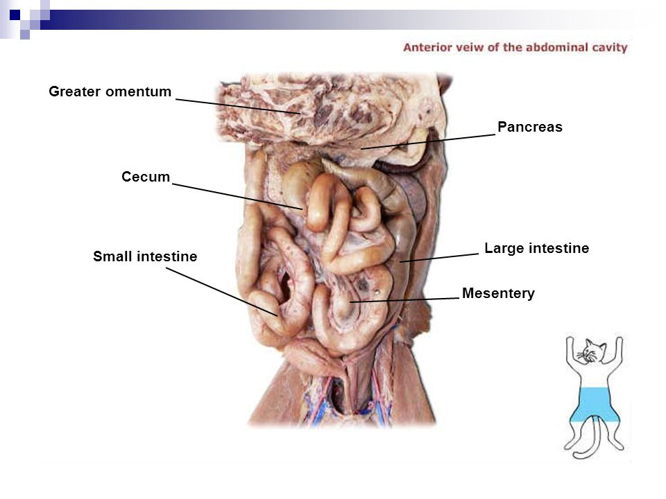 Greater omentum Pancreas Cecum Large intestine Small intestine Mesentery