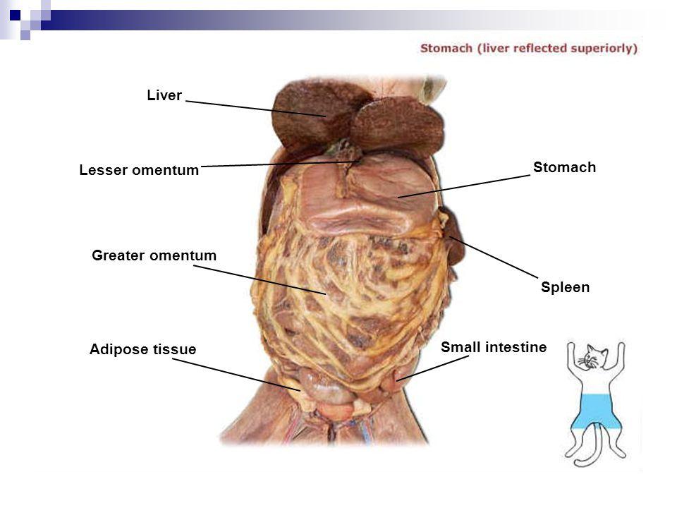 Liver Lesser omentum Stomach Greater omentum Spleen Adipose tissue Small intestine