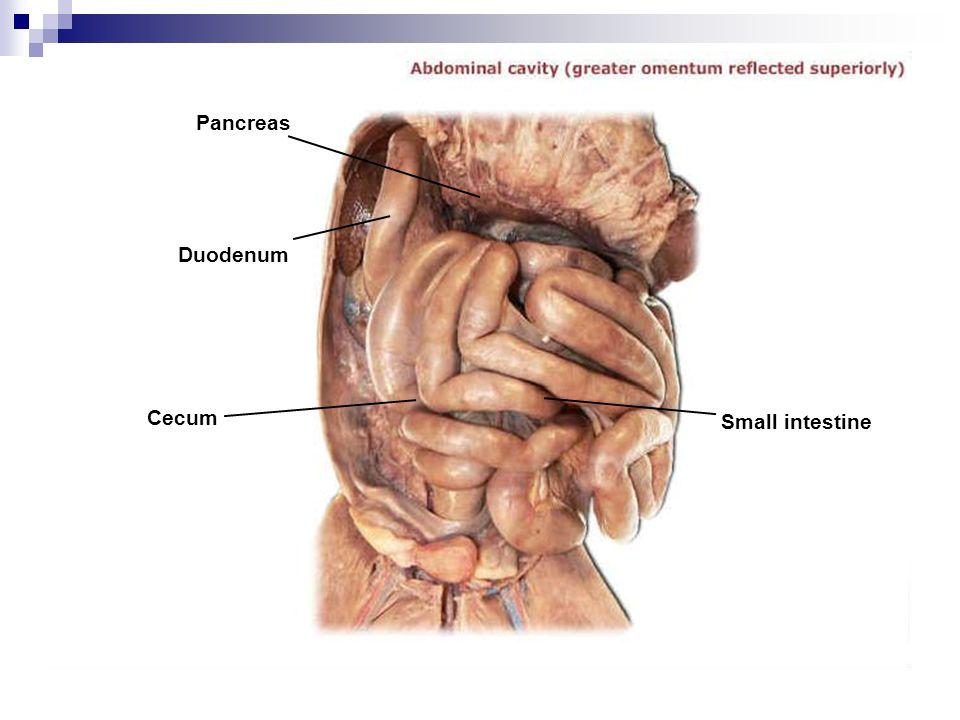Pancreas Duodenum Cecum Small intestine