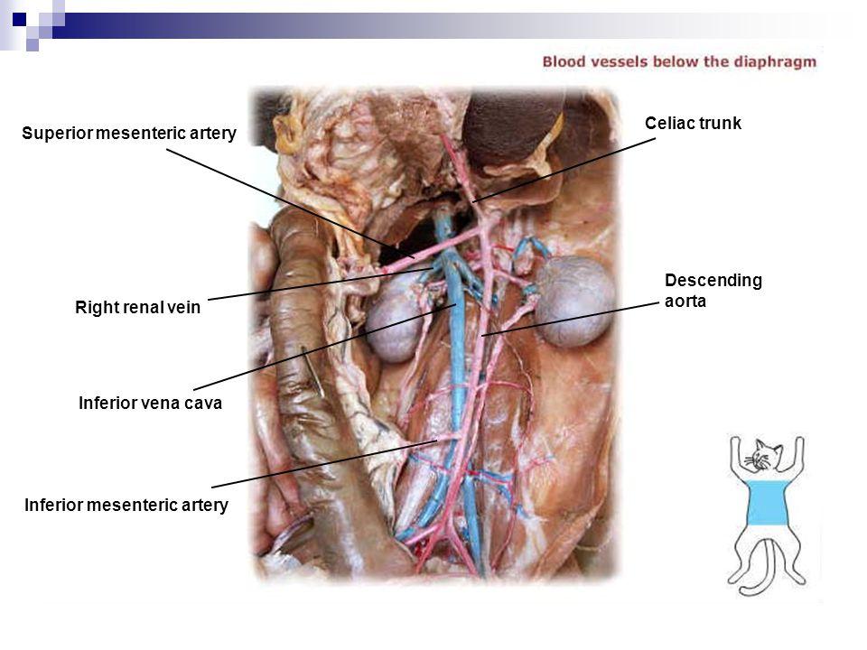 Celiac trunk Superior mesenteric artery. Descending. aorta. Right renal vein. Inferior vena cava.