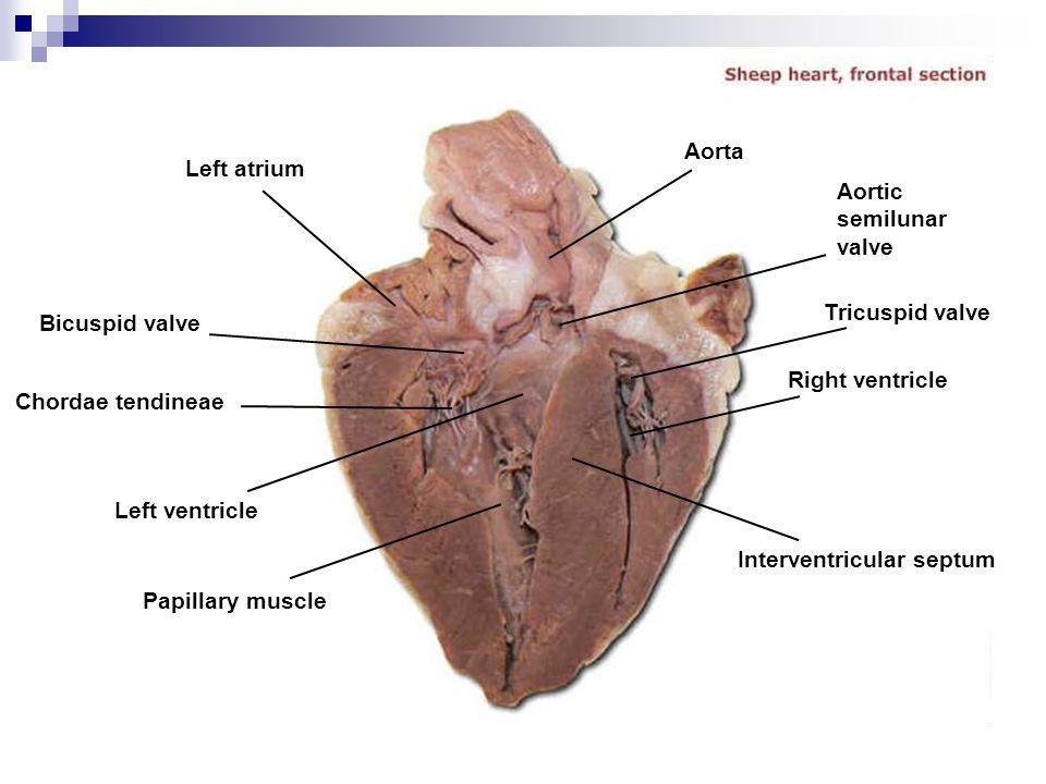 Aorta Left atrium. Aortic. semilunar. valve. Tricuspid valve. Bicuspid valve. Right ventricle.