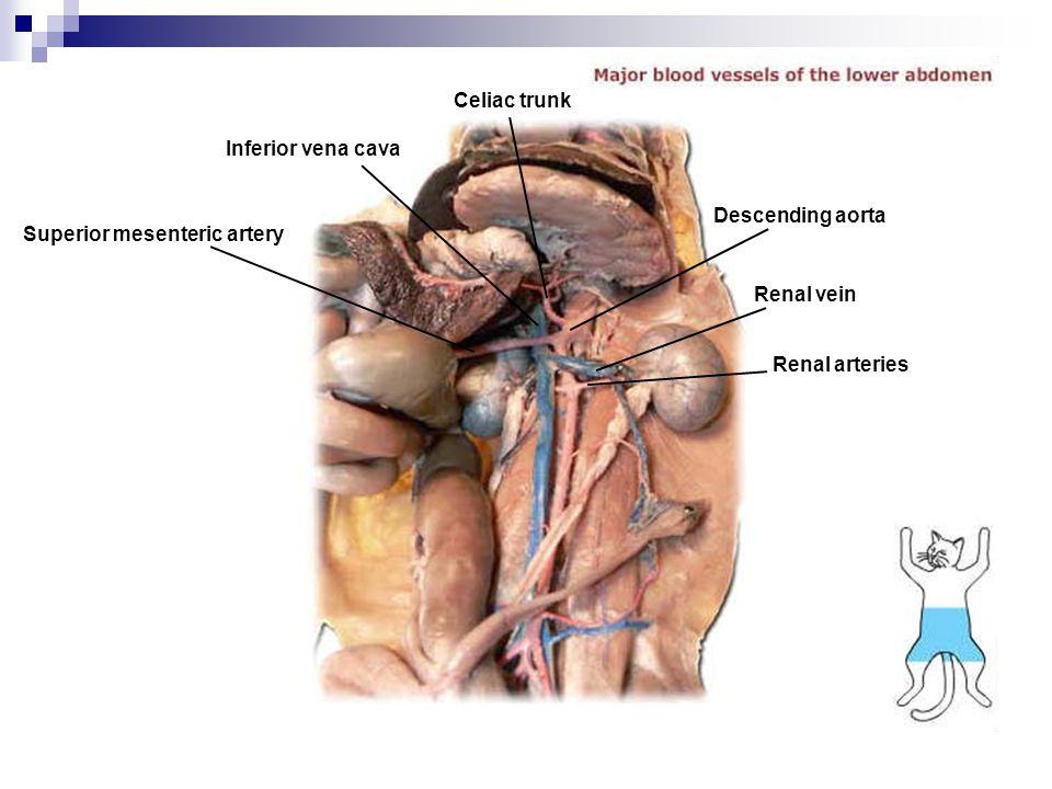 Celiac trunk Inferior vena cava. Descending aorta.
