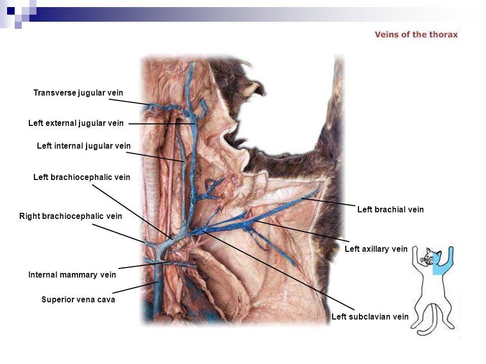 Transverse jugular vein