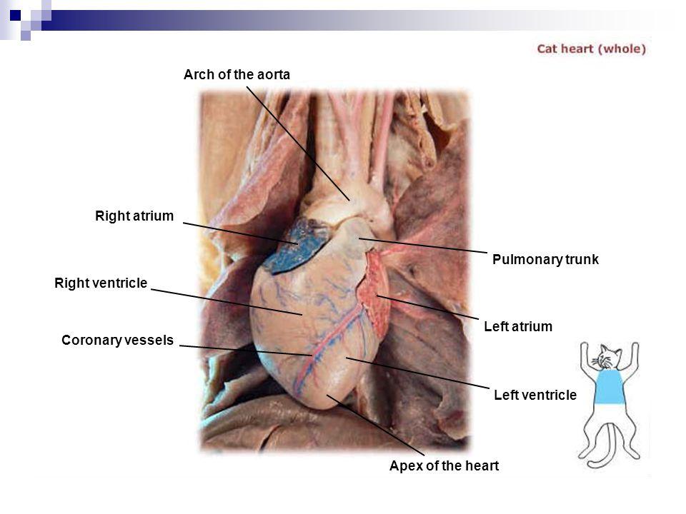 Arch of the aorta Right atrium. Pulmonary trunk. Right ventricle. Left atrium. Coronary vessels.