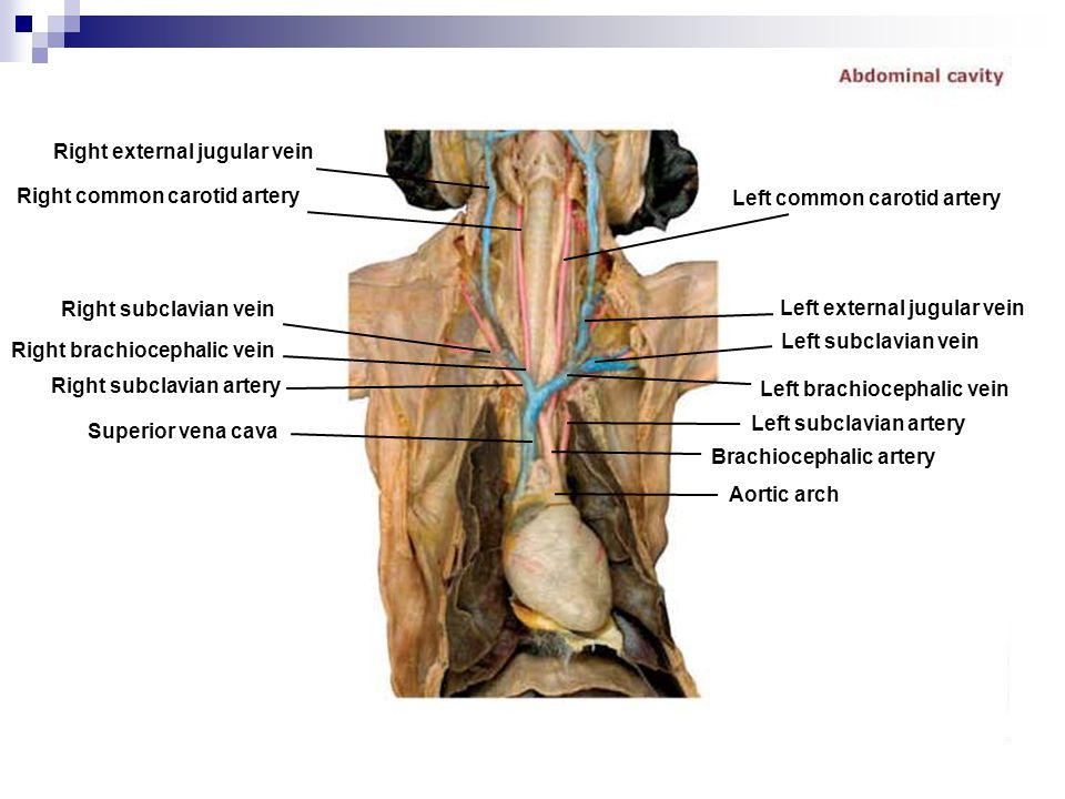 Right external jugular vein