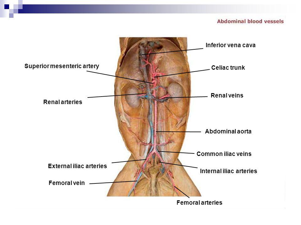 Inferior vena cava Superior mesenteric artery. Celiac trunk. Renal veins. Renal arteries. Abdominal aorta.