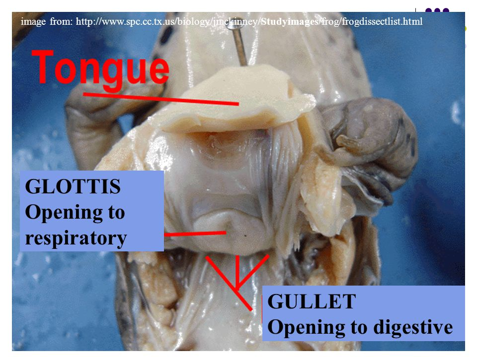 GLOTTIS Opening to respiratory GULLET Opening to digestive
