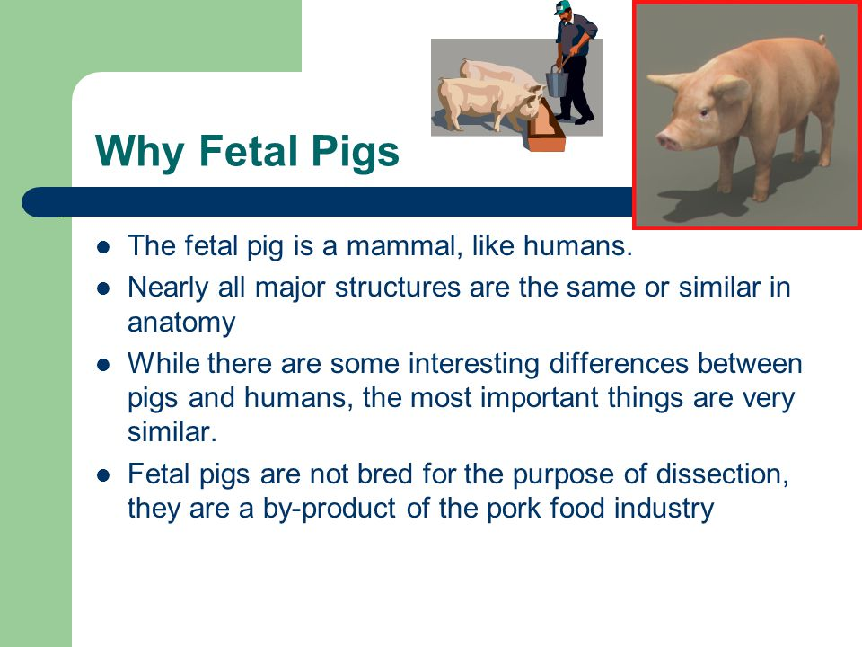 Why Fetal Pigs The fetal pig is a mammal, like humans.