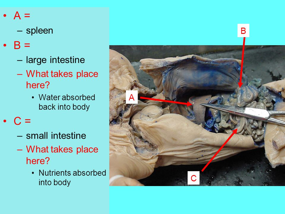 A = B = C = spleen large intestine What takes place here