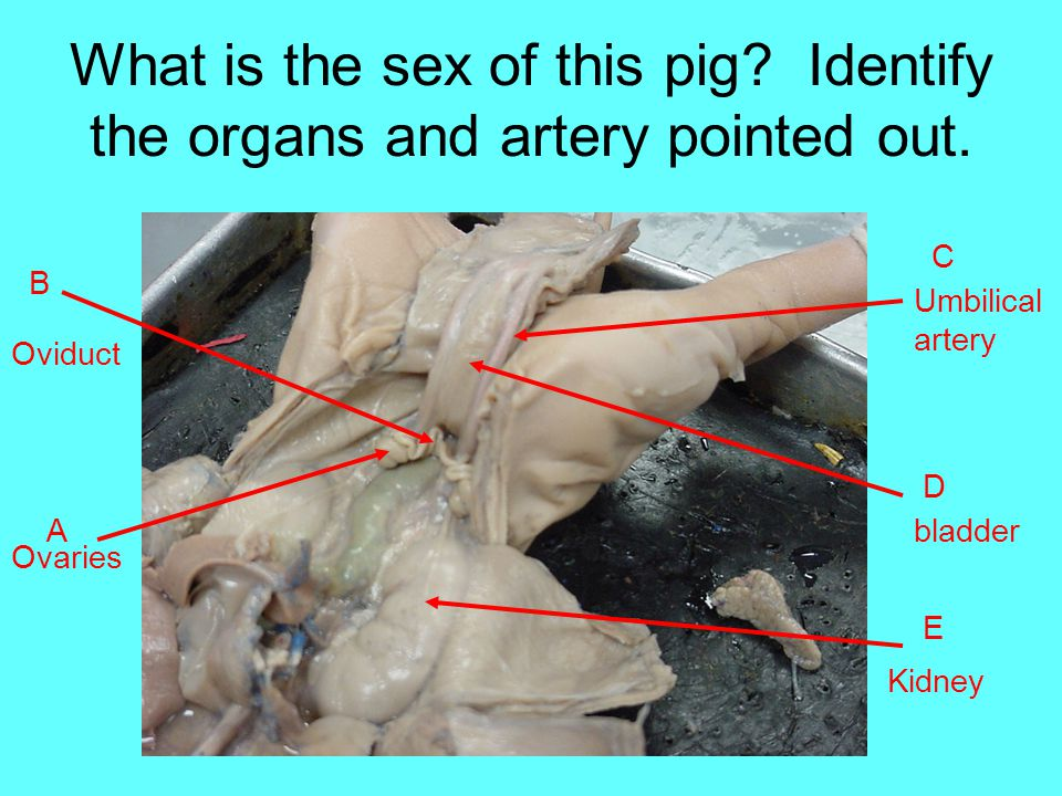 What is the sex of this pig Identify the organs and artery pointed out.