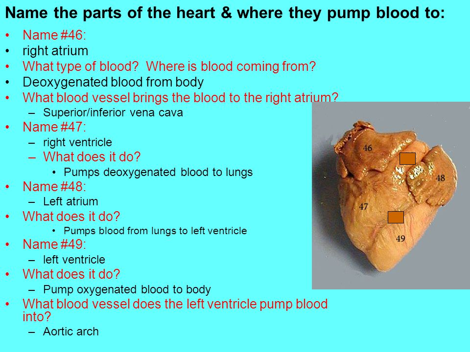 Name the parts of the heart & where they pump blood to: